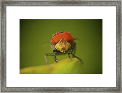 Red-eye Fly Framed Print by Arj Munoz