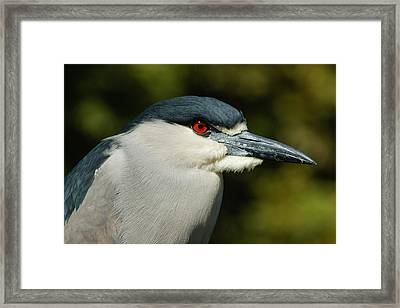 Framed Print featuring the photograph Red Eye - Black-crowned Night Heron Portrait by Georgia Mizuleva
