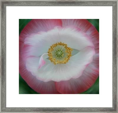 Red Eye Poppy Framed Print by Barbara St Jean
