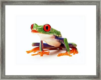 Red-eye Tree Frog 1 Framed Print by Lanjee Chee