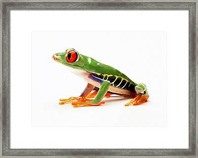 Red-eye Tree Frog 4 Framed Print by Lanjee Chee