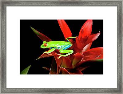 Red Eye Treefrog, Agalychnis Framed Print by David Northcott