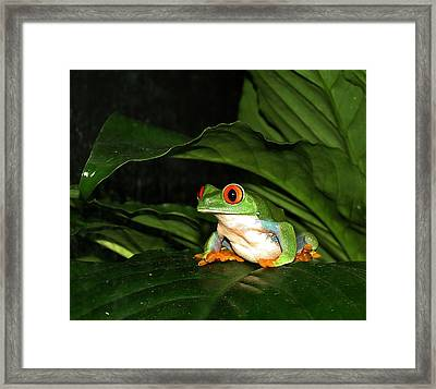 Red Eyed Green Tree Frog Framed Print