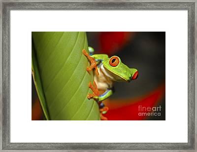 Red Eyed Leaf Frog Framed Print