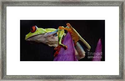 Red Eyed Tree Frog Framed Print by Bob Christopher