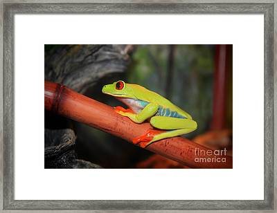 Framed Print featuring the photograph Red Eyed Tree Frog by Cathy  Beharriell