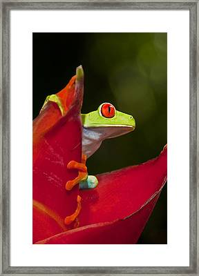 Framed Print featuring the photograph Red Eyed Tree Frog 3 by Dennis Cox WorldViews