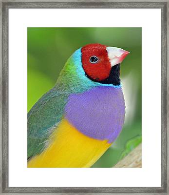 Red Faced Gouldian Finch Framed Print by Richard Bryce and Family
