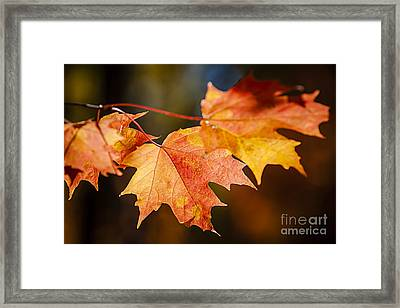 Red Fall Maple Leaves Framed Print by Elena Elisseeva