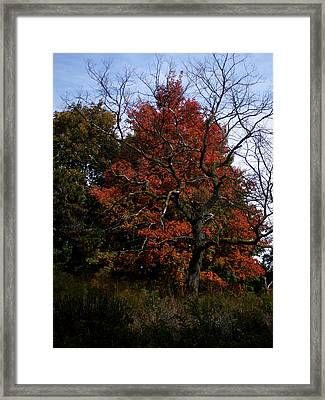 Red Fall Maple Tree Framed Print by Michel Mata