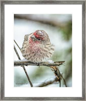 Red Finch Broken Branch Framed Print