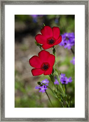 Red Flax  Framed Print by Saija  Lehtonen
