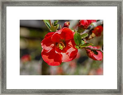 Red Flower Framed Print by Robert Hebert