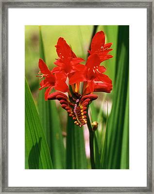 Red Flower Framed Print by Robert Lozen