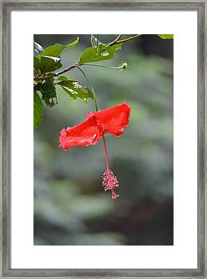 Red Flower St. John's Framed Print
