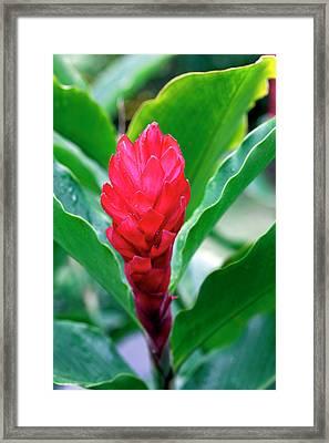 Red Flowering Bromeliad, Costa Rica Framed Print by Susan Degginger