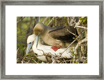 Red-footed Boobies Mating Framed Print