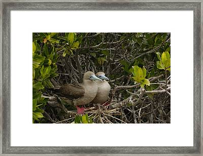 Red-footed Boobies Nesting Galapagos Framed Print by Pete Oxford