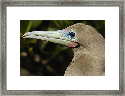 Red-footed Booby Close Up Galapagos Framed Print by Pete Oxford