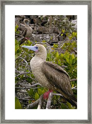 Red-footed Booby Galapagos Islands Framed Print by Pete Oxford