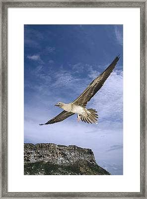 Red-footed Booby Juvenile Flying Framed Print by Tui De Roy