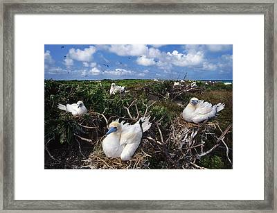 Red-footed Booby Nesting Colony, Hawaii Framed Print