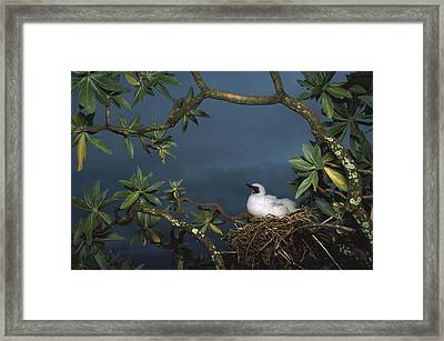 Red-footed Booby Nesting Palmyra Atoll Framed Print by Tui De Roy