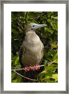 Red-footed Booby Portrait Galapagos Framed Print by Pete Oxford