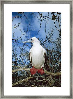 Red-footed Booby White Morph Galapagos Framed Print by Tui De Roy