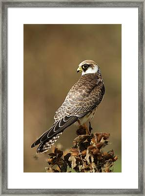 Red Footed Falcon (falco Vespertinus) Framed Print by Photostock-israel