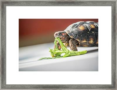 Red-footed Tortoise Feeding Framed Print by Pan Xunbin