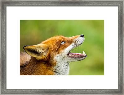 Red Fox - Vulpes Vulpes Framed Print by George Cox