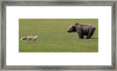 Red Fox  And Grizzly Bear Framed Print by Matthias Breiter