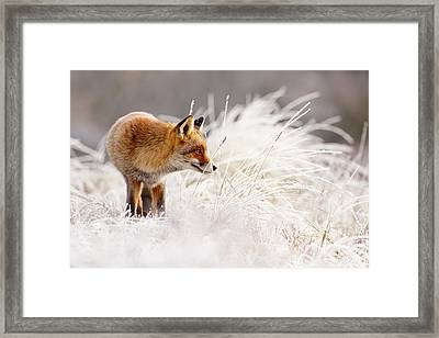 Red Fox And Hoar Frost _ The Catcher In The Rime Framed Print by Roeselien Raimond