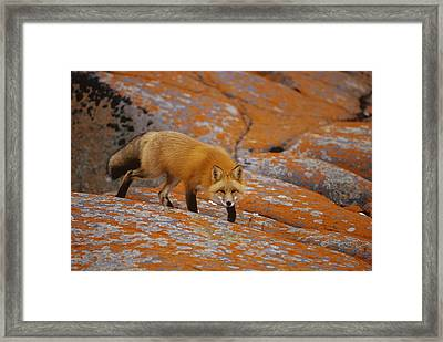 Red Fox And Orange Lichen Canada Framed Print by Konrad Wothe