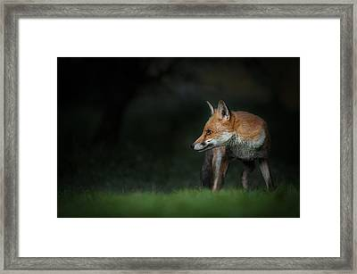 Red Fox Framed Print by Andy Astbury