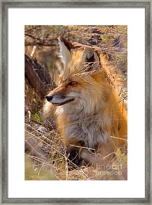 Framed Print featuring the photograph Red Fox At Rest by Aaron Whittemore