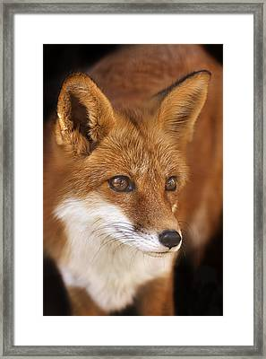 Framed Print featuring the photograph Red Fox  by Brian Cross