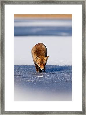 Red Fox Crossing A Frozen Lake Framed Print by Roeselien Raimond