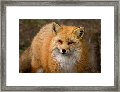 Framed Print featuring the photograph Red Fox by Nature and Wildlife Photography