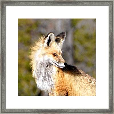 Red Fox Face Framed Print
