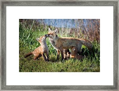 Red Fox Family Framed Print