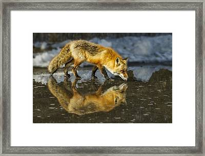 Red Fox Has A Drink Framed Print