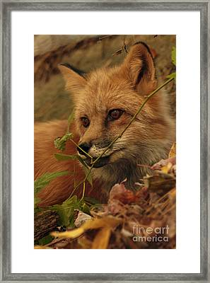 Red Fox In Autumn Leaves Stalking Prey Framed Print