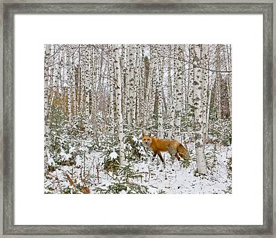 Red Fox In Birches Framed Print by Jack Zievis