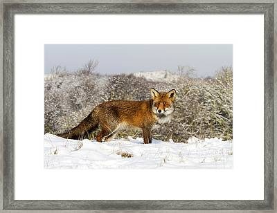 Red Fox In Snow Noord-holland Framed Print