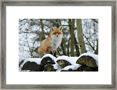 Red Fox In Snow Switzerland Framed Print by Thomas Marent