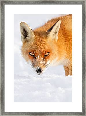 Red Fox In The Snow Framed Print by Roeselien Raimond