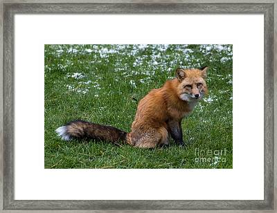 Red Fox Framed Print by Jim McCain