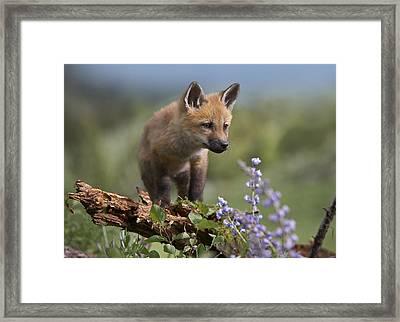 Red Fox Kit Climbing Framed Print by Tim Fitzharris